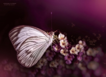 Butterfly - wings, butterfly, fluture, macro, flower, insect, pink, white