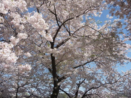Early Cherry Blooms - 3264x2448, tree, pale pink, young bloom, DC, Cherry Blossom, Flowering Tree, white, blue sky