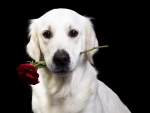 A rose for you because you stay at home