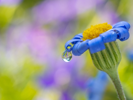 ♥ - vara, macro, water drops, summer, yellow, dew, flower, blue