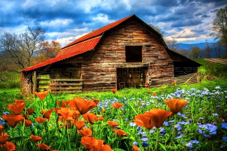 Country Poppies - blossoms, spring, sky, barn, clouds