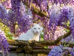 Cat and Wisteria