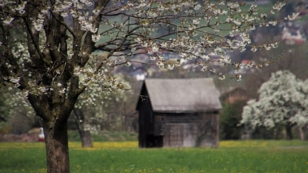 Apple Blossom Meadow - country, trees, apple blossoms, Firefox theme, hut, shed, spring, grove, flowers, orchard, blooms