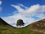 Sycamore Gap Tree