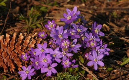 Anemones - Latvia, flowers, purple, anemones, spring