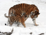 Mother tiger with her cub