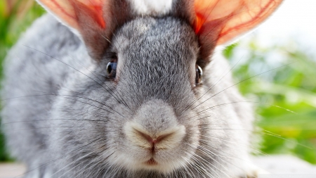 Bunny close-up - cute, bunny, pets, animals, wallpaper