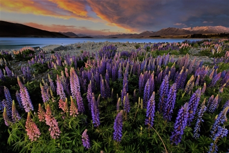 spring sunset - sunset, sky, sea, lupines