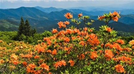 Roan Mountain - mountain, flowers, spring, south carolina
