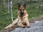 Fritz - the german shepherd
