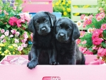 Black Labs in Pink Box