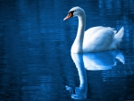 Swan of the blue lake