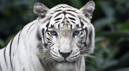 Majestic white tiger - white tiger, wild, tigers, wildlife, cats, animals, wild animals, big cats, wallpaper