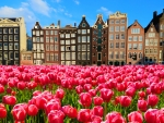 Pink holland tulips