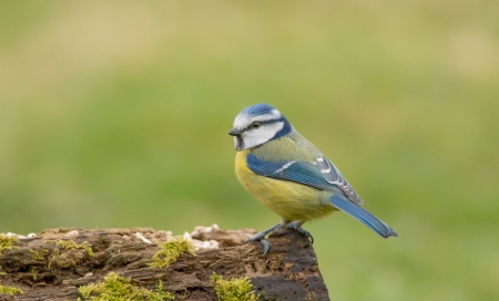 :) - bird, blue tit, great tit, yellow, pasari, pitigoi