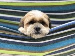Shith zu in a hammock