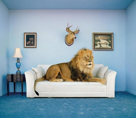 Master of the house - fantasy, leu, funny, room, sofa, blue, animal, lion