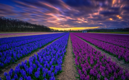 Field of hyacinths - flowers, spring, sunset, beautiful, clouds, sky, field, colorful, hyacinth, scent