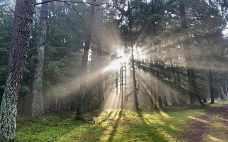 Sunbeams in Forest - sunbeams, forest, sunshine, trees, moss