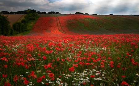 field - landscape, red, photography, flowers, nature, fields, clouds