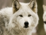 White wolf portrait
