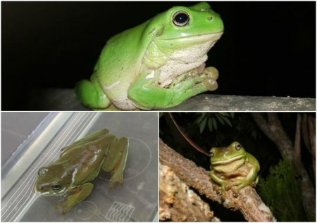 FROG COLLAGE - ANIMAL, COLLAGE, FROG, IMAGE