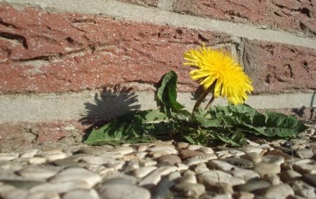 Dandelion between Stones - spring, dandelion, rocks, macro, flower, yellow