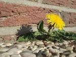 Dandelion between Stones