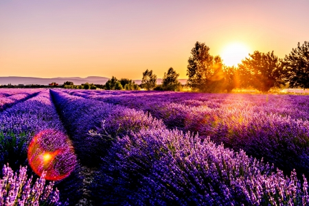 Lavender field - flowers, lavender, landscape, field, purple