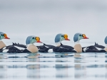 Arctic ducks