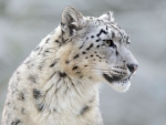 Amazing snow leopard