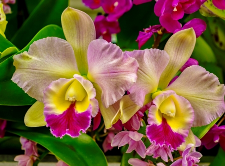 Orchids close-up - beautiful, orchids, close-up, colorful, flowers, garden