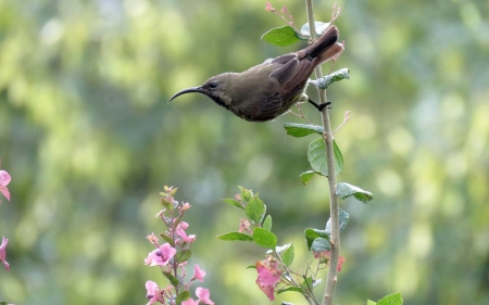 Hummingbird - pink flowers, hummingbird, bird, animal