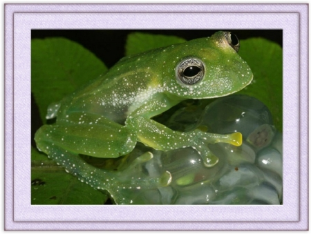 FRAMED FROGS - NATURE, FROG, IMAGE, FRAMED