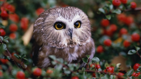 Sweet Berries - owl, beautiful, bird, berries, bush