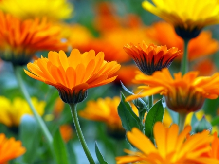 Calendula flower - calendula, orange, close-up, garden, flower, yellow, beautiful