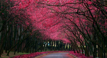 Alley of the blooming trees - road, alley, trees, landscape, scene, bloom, spring, park, wallpaper, path, nature