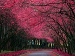 Alley of the blooming trees