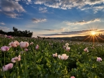 Dawn on poppy field