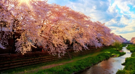 Spring in Japan - Japan, park, nature, spring, trees, landscape, scene, cherry blossom, wallpaper