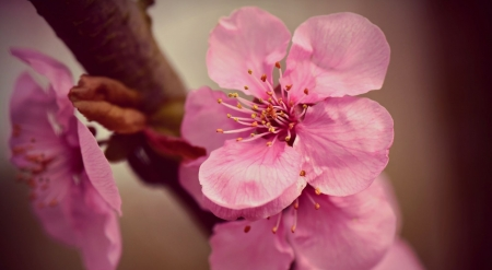 Japanese cherry flower macro - photography, wallpaper, macro, flowers, nature, spring, softness, cherry blossom