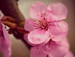 Japanese cherry flower macro