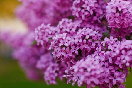 Lilac paradise - lilac, pretty, close-up, flower, spring, scent, beautiful, fragrance, paradise