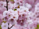 Beautiful japanese cherry blossom