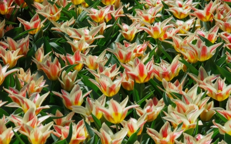 Tulips in Netherlands - Netherlands, Holland, flowers, Keukenhof, garden, spring, tulips