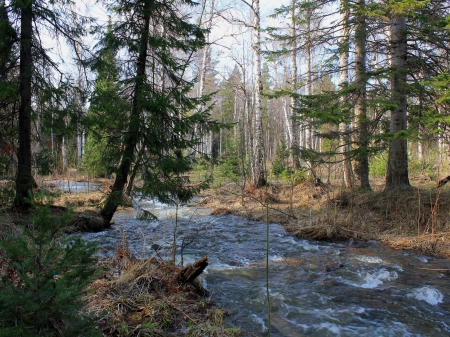 forest river - forest, river, trees, pines, flowing