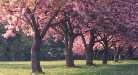 Pink cherry blossoms - spring, nature, park, trees, cherry blossom, landscape, scene, field, wallpaper