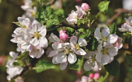 Apple Blossoms - blooms, apple, tree, macro, blossoms, spring, flowering