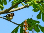 Goldfinch on Chestnut Tree