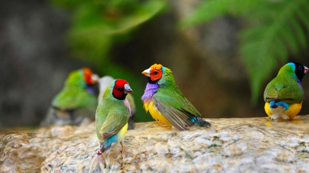 Gouldian Finch - colorful, red, bird, green, yellow, pasari, gouldian finch